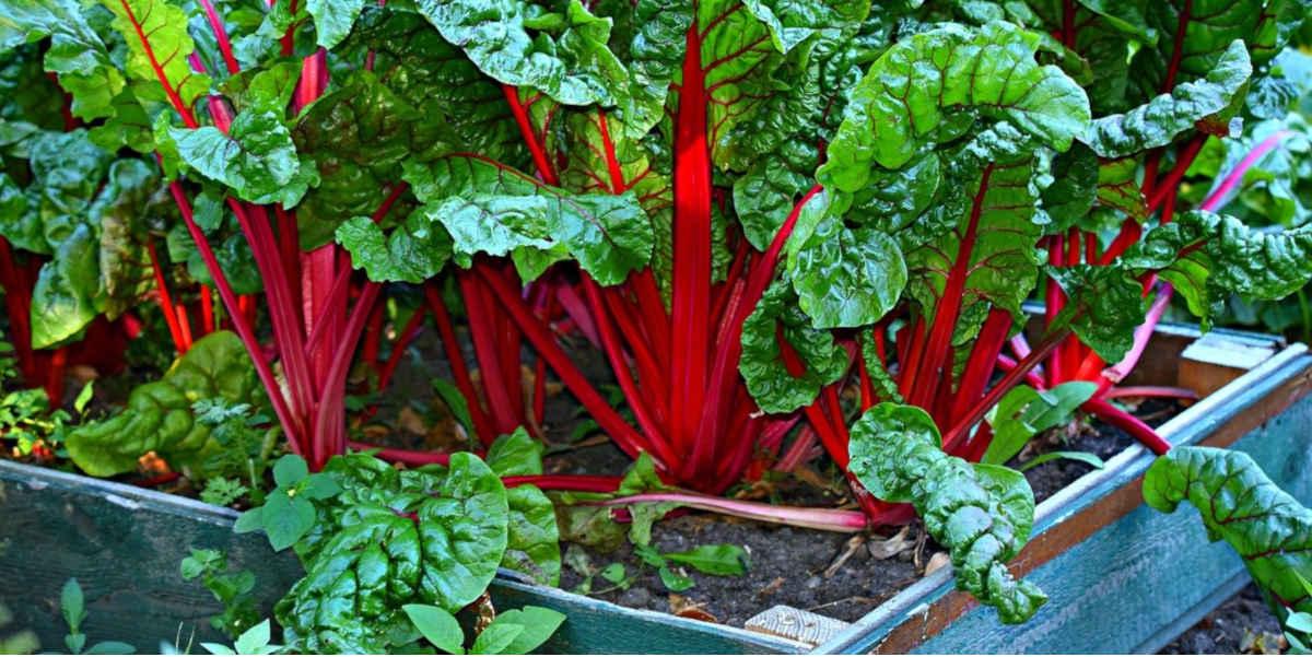 Mangold - Mangold ist eines der besten Gemüse mit Magnesiumgehalt