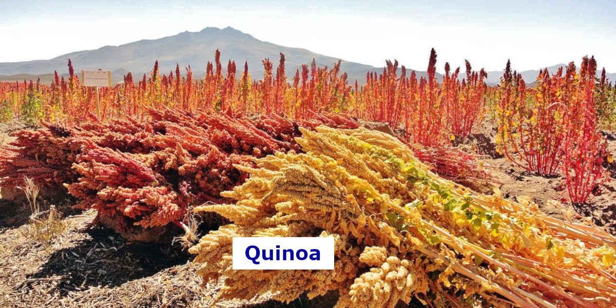 Quinoafeld - Dieses Quinoa-Feld enthält Unmengen an Magnesium aus der Nahrung