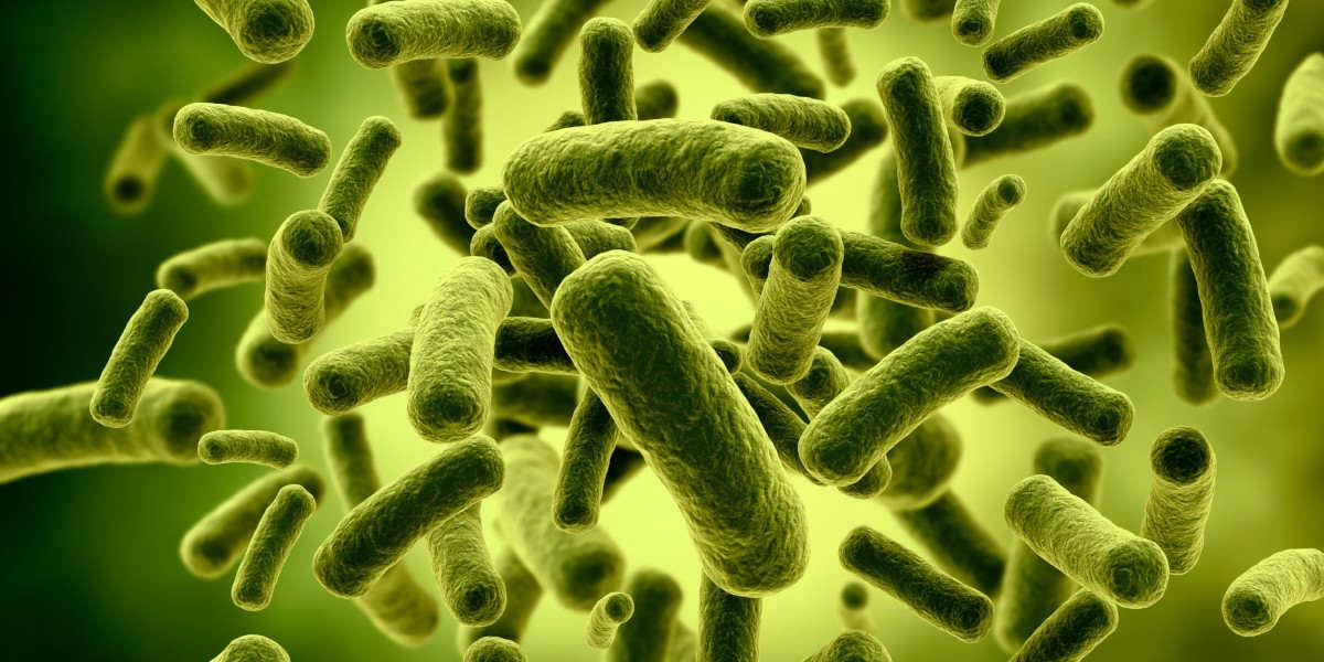 Lactobacillus-Bakterien -